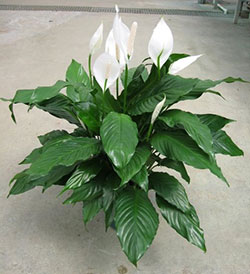 Peace Lily Care – How to Grow Spathiphyllum | Epic Gardening on wilted rose plant, wilted ivy plant, wilted boston fern plant, wilted daisy plant, wilted pothos plant, wilted poppy plant, wilted aloe vera plant,