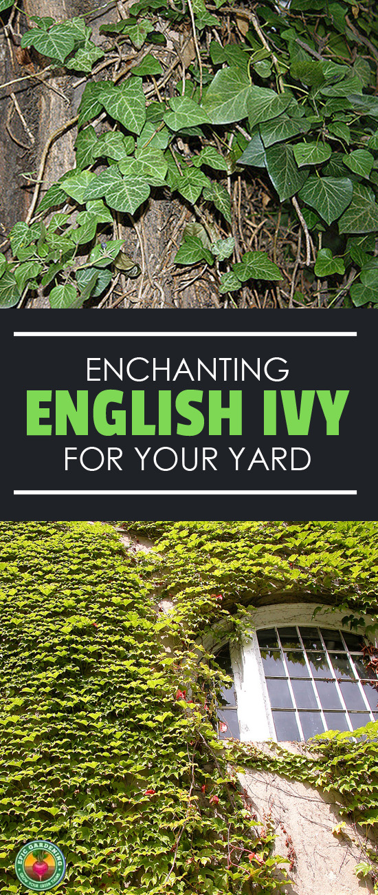 English ivy is both beautiful and potentially invasive. I'll teach you how to grow it, and also how to keep it from spreading like wildfire!