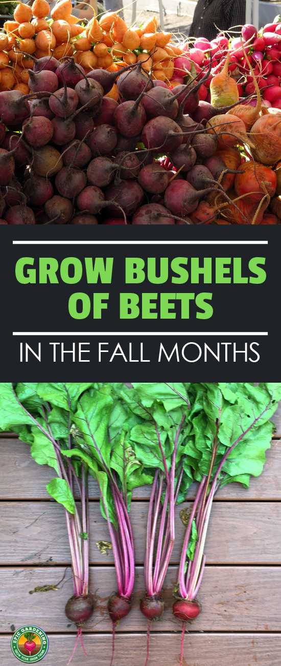 Looking for healthy root vegetables? Growing beets is easy! Our thorough growing guide explains the process from seed to harvest.