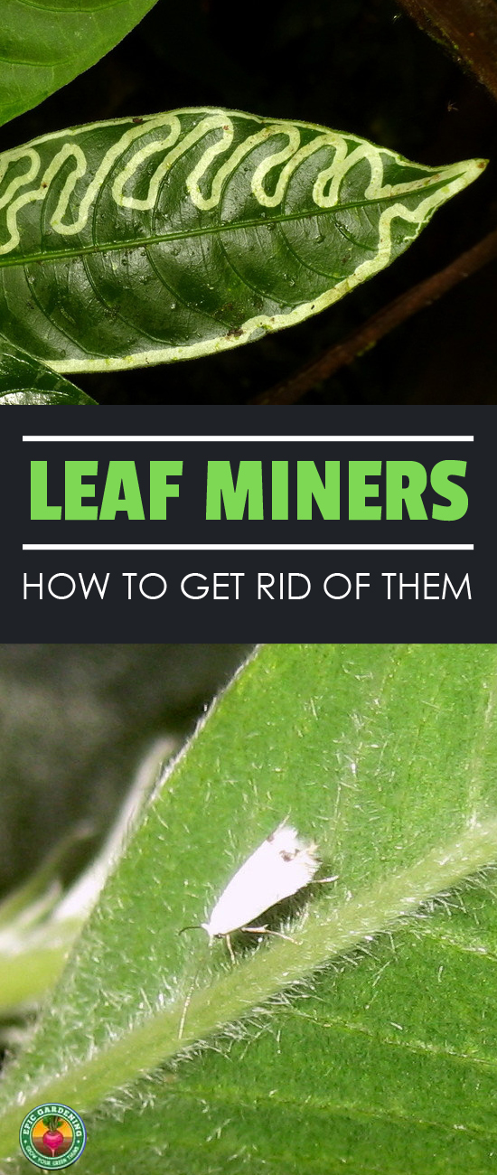A leaf miner will chew maze-like trails along the leaves of plants, disfiguring them and putting them at risk. I'll show you how to wipe them out!