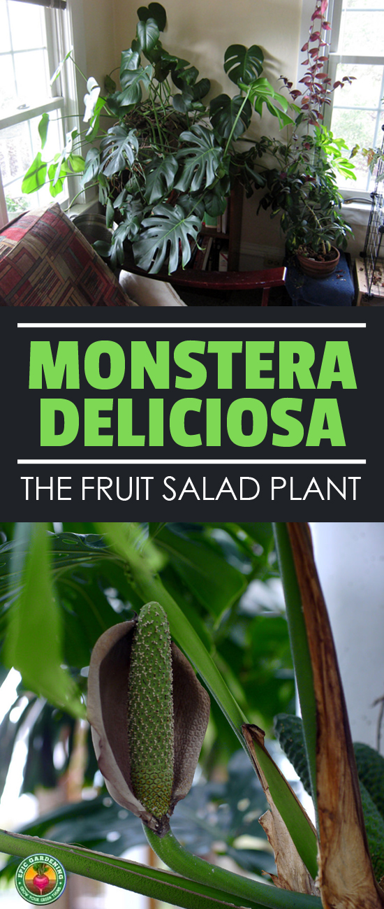 Looking for an exotic plant? Monstera deliciosa, or the