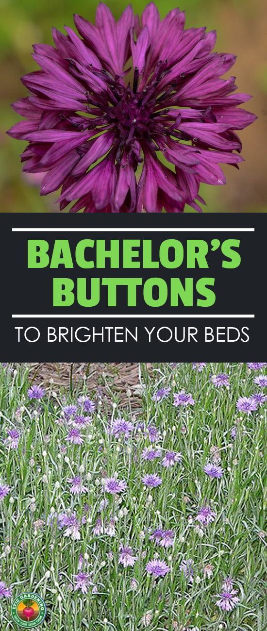 Looking for easy flowers? Bachelor buttons will provide you with a range of shades from cornflower blue to pinks and purples! Our growing guide shows you how!