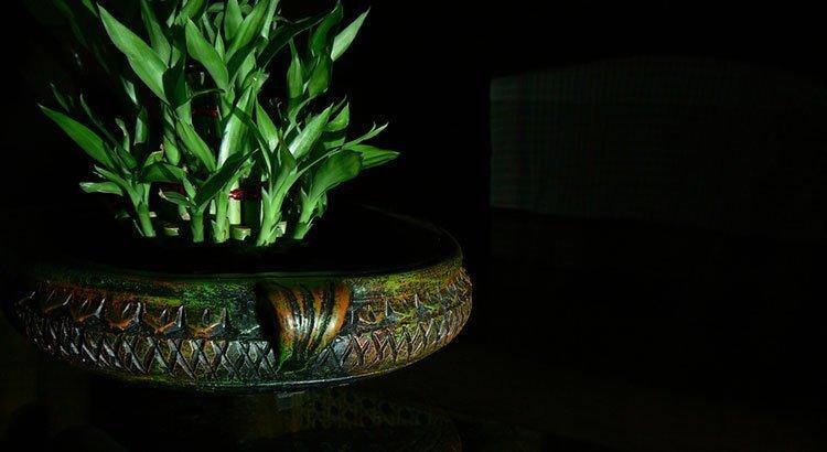 Lucky Bamboo Care Growing Dracaena Sanderiana Epic Gardening