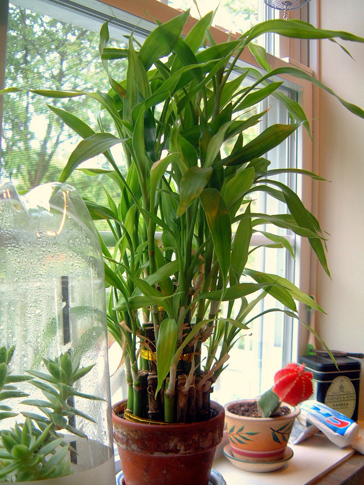 Lucky bamboo care growing dracaena sanderiana for Grande plante interieur