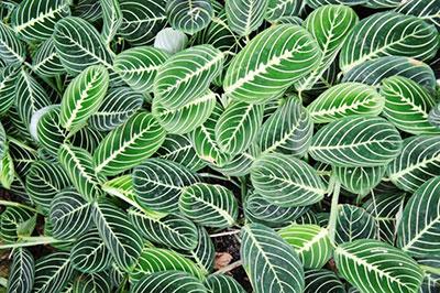 Prayer Plant Care – Growing The Maranta Plant | Epic Gardening