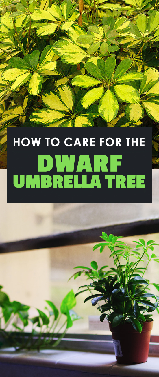 Umbrella trees are unique houseplants that add character to your home. Learn how to grow Schefflera plants with our in-depth care guide!
