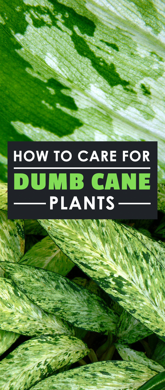 Dieffenbachia — also known as the dumb cane plant — is one of the top ten most popular houseplants out there. Learn exactly how to grow it in this guide.