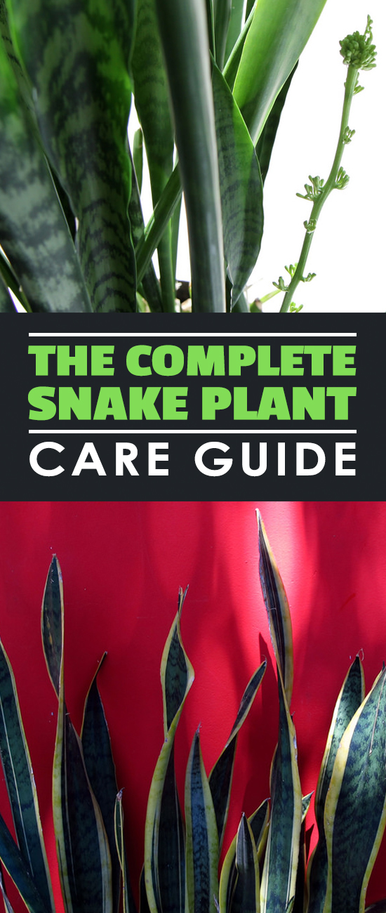 In this snake plant care guide, learn how to grow and troubleshoot the world\'s easiest houseplant to grow!