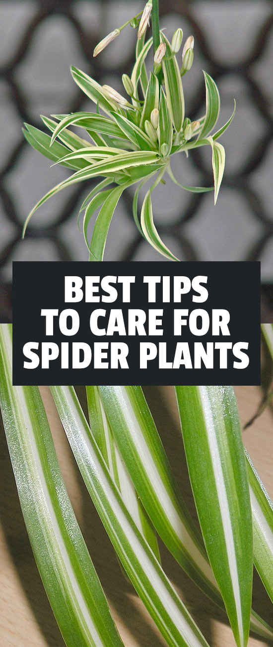 Learn exactly how to care for the spider plant, one of the easiest and most forgiving houseplants to grow.