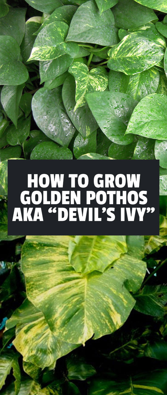 The Golden Pothos, also known as Devil's Ivy, is a gorgeous houseplant that is easy to care for. Learn exactly how to grow it in this in-depth guide.