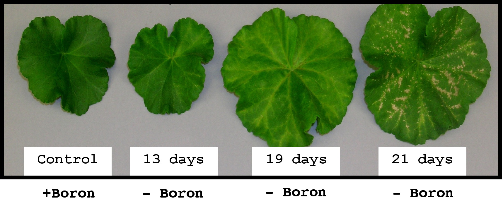 How boron deficiency affects a plant over time.