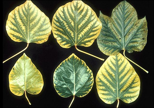 Manganese deficiency symptoms.