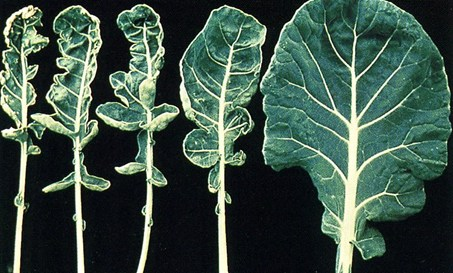 Molybdenum deficiency symptoms in a cauliflower leaf.