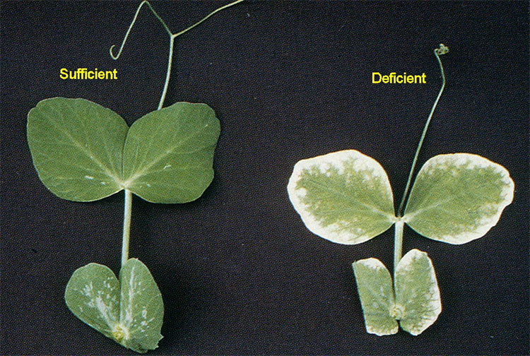 Zinc deficiency symptoms.