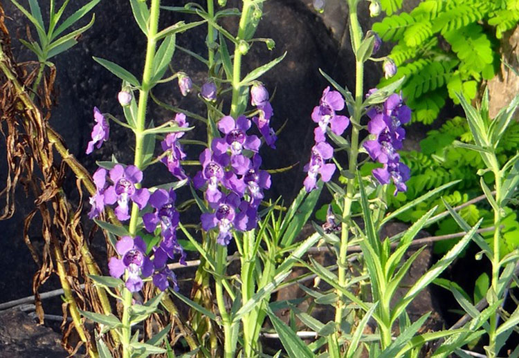 Narrowleaf Angelonia works well in window planters.