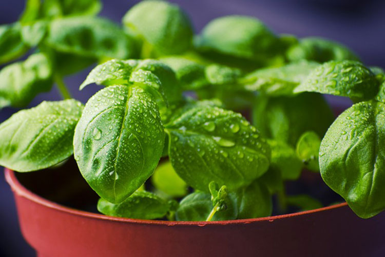 Basil is a classic window box herb.