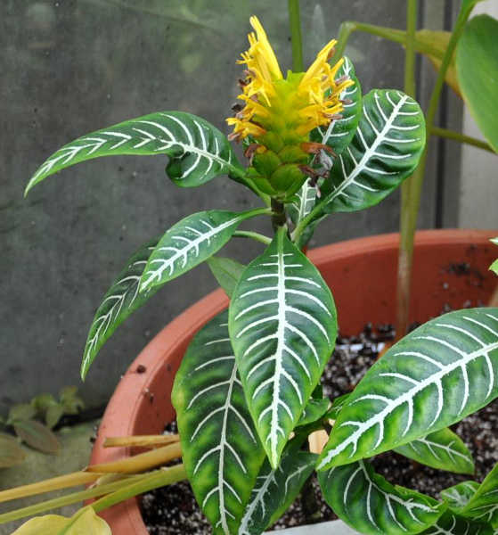 Ze Plant Care: Growing Aphelandra Squarrosa At Home ... on
