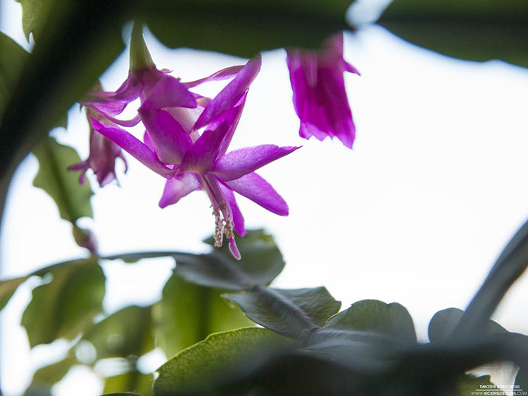 Problems With Christmas Cactus Plants