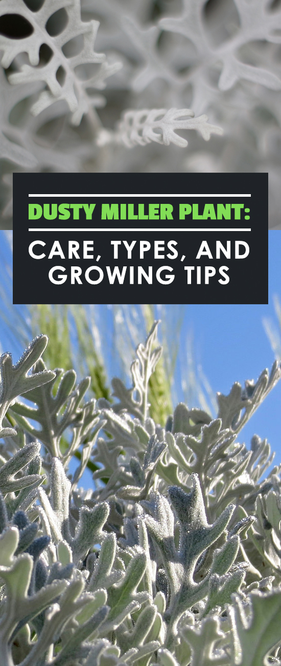 The dusty miller plant adds beautiful, silvery foliage to a garden and is easy to care for. Learn exactly how to grow it in this in-depth guide.