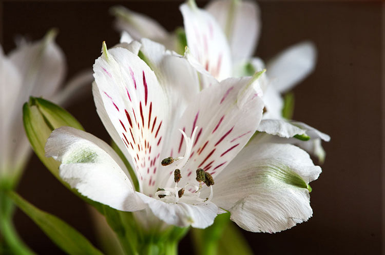 Peruvian Lily Care