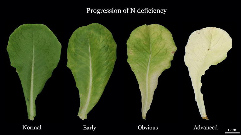 "An example of the opposite problem, nitrogen deficiency. If you take the ""normal"" appearance and darken it, you have a classic symptom of nitrogen toxicity."