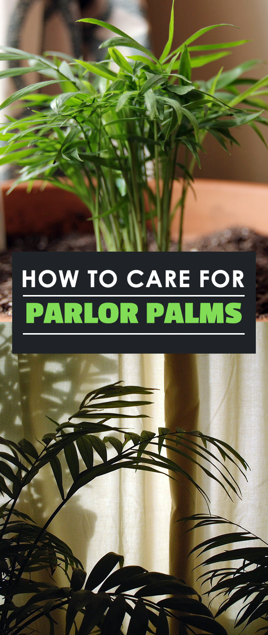 The Parlor Palm (Chamaedora elegans), sometimes referred to as the Neanthe Bella Palm, is an easy houseplant to grow and is very well suited to indoor life.