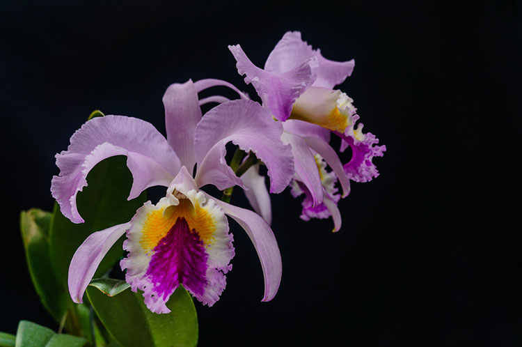 7 Famous Types Of Orchids You Can Grow Epic Gardening