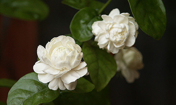 Jasmine Plant: A Step-By-Step Care Guide for Success