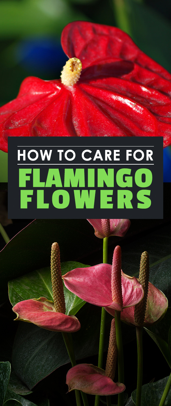 Anthuriums, also known as Flamingo Flowers, are absolutely gorgeous and surprisingly easy to care for. Learn to grow them in this in-depth guide.