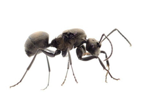 how to get rid of small black ants naturally