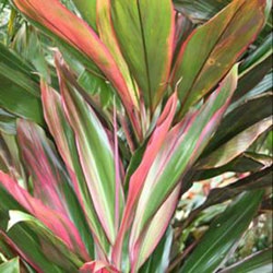 Cordyline fruticosa 'Hawaiian Boy'