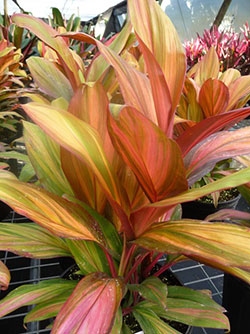 Cordyline fruticosa 'Morning Sunshine'