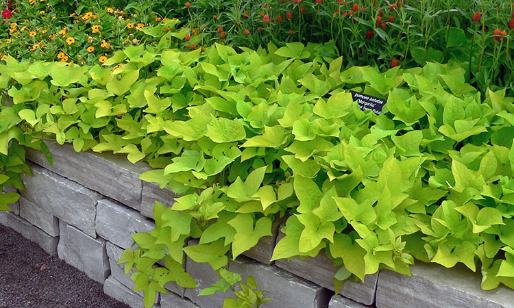 Sweet Potato Vine How To Grow These Gorgeous Flowing Vines