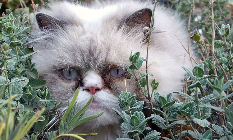 Catmint and your cat