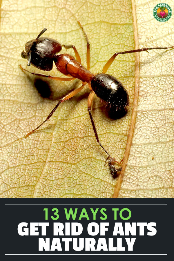 Here are 13 ways to get rid of ants naturally, along with 6 common ant