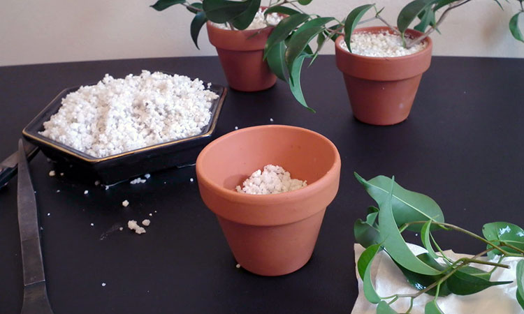 Using perlite in hydroponics to root cuttings
