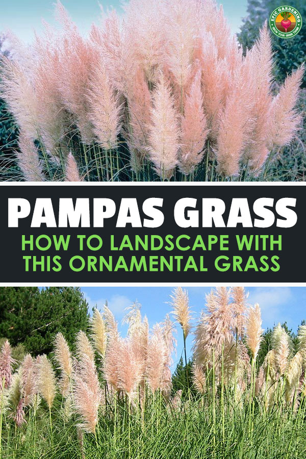 The striking, feathery blooms of pampas grass are prized by floral arrangers and gardeners alike. Learn to care for cortaderia selloana in this in-depth guide.