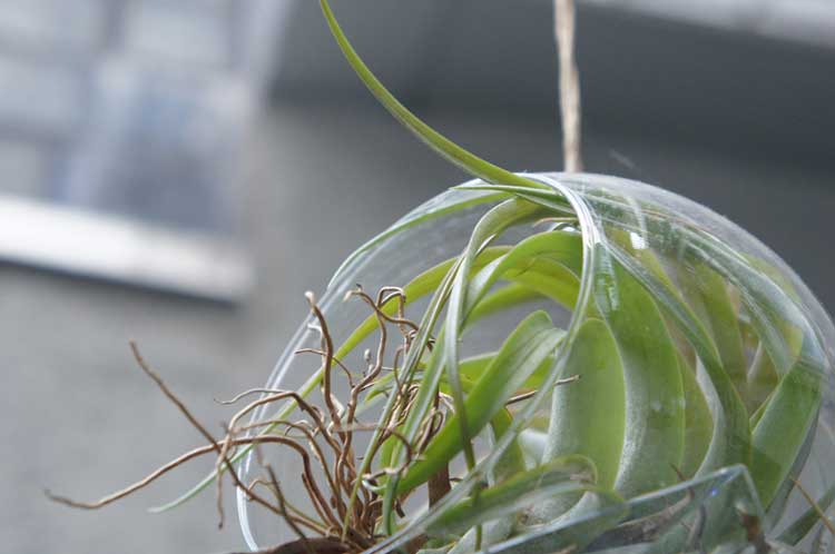 Air Plant in Hanging Container