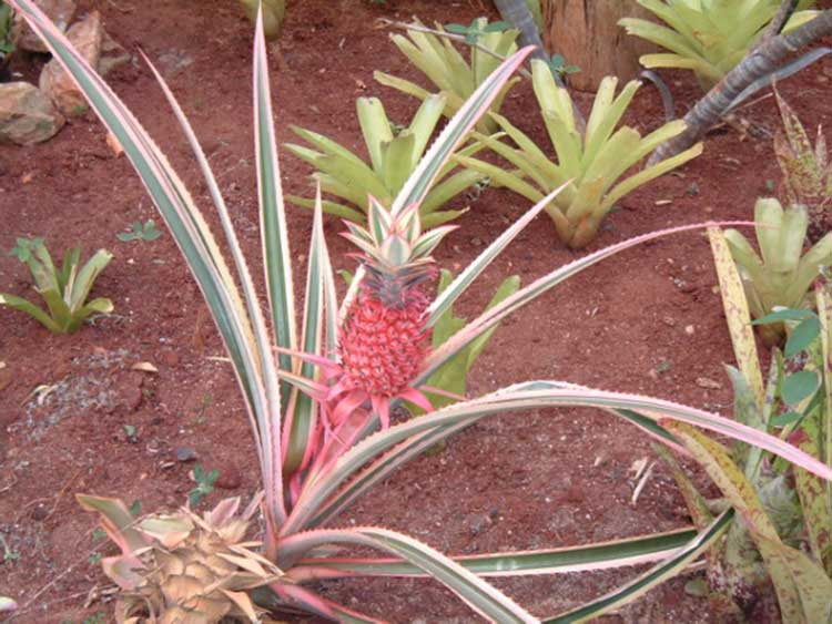Ananas Ornamental