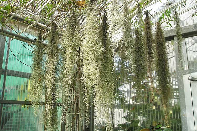 Tillandsia usneoides or Spanish Moss