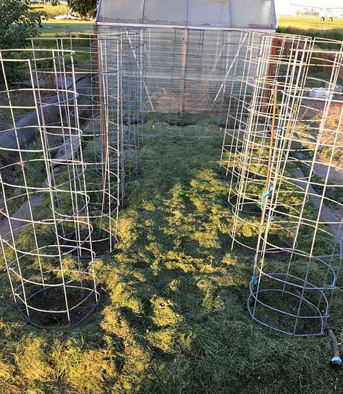 Bent Cattle Panel Tomato Cage