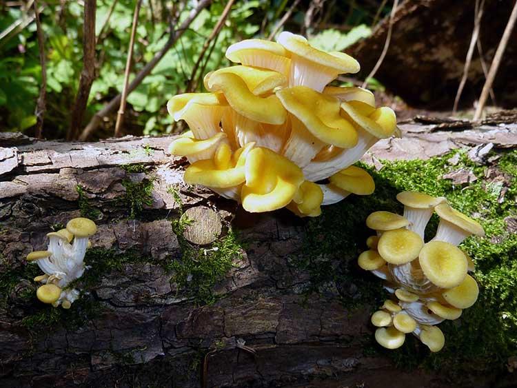 Gold oyster mushroom