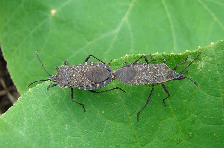 Image result for squash bugs