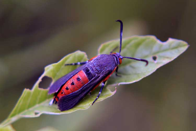 killing squash bugs how to identify and control anasa tristis