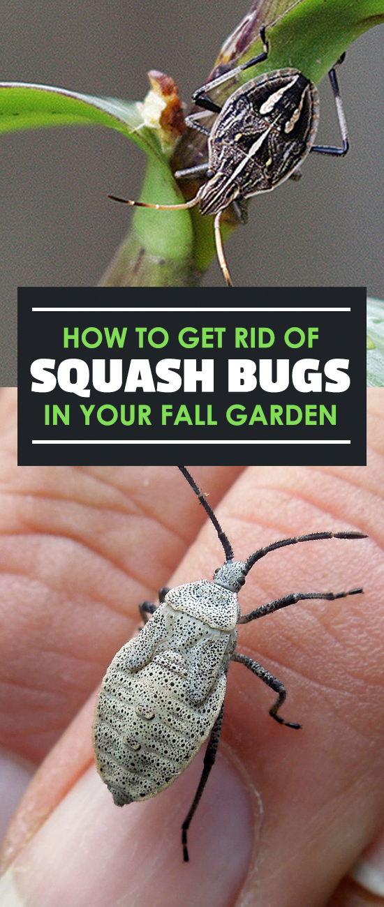 Killing squash bugs how to identify and control anasa - How to get rid of bugs in garden ...