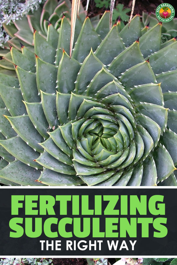Succulents are all the rage now. But how do you take care of them? More importantly, how do you feed them? Read this for my succulent fertilizer tips.