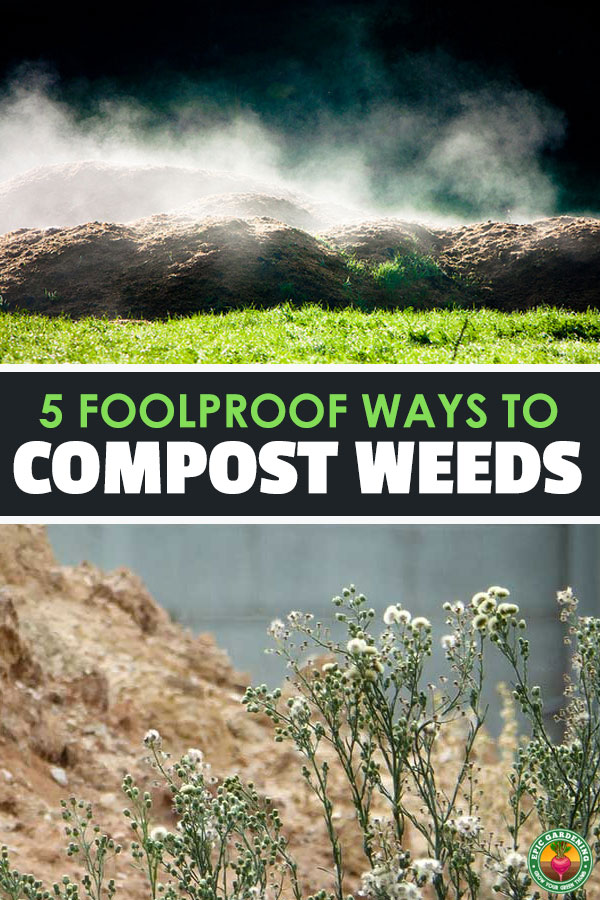 Composting weeds can make some gardeners nervous, thinking that they are going to end up spreading weeds all around their garden whenever they spread compost.