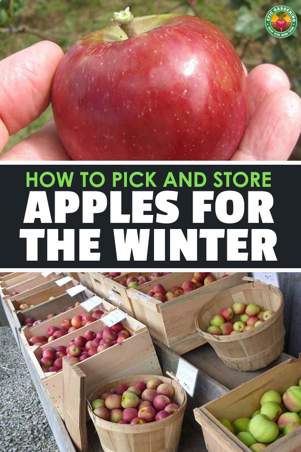 It's that time of year! The apple tree is overloaded, and you simply can't eat them all at once. Here are the best ways to store apples.