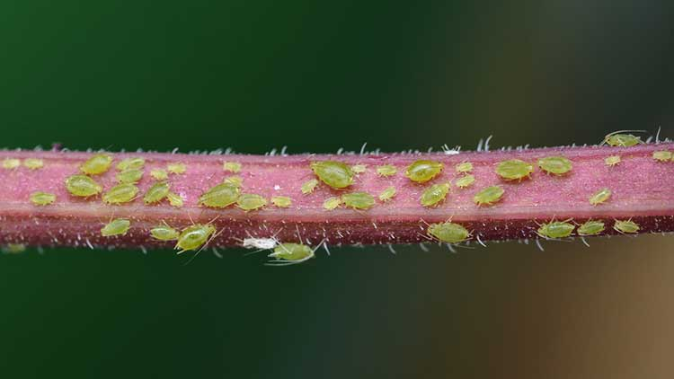 Aphids on plants