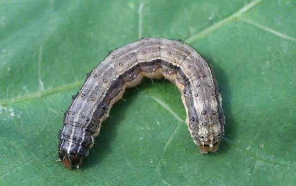 Army Worms Eliminating These Munching Menaces